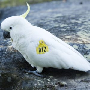 A tagged cockatoo with a large yellow identifier on its wing
