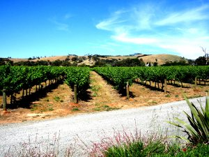A vineyard from the McLaren Vale area of South Australia