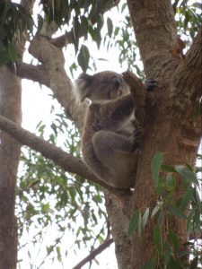 A koala hanging up a tree